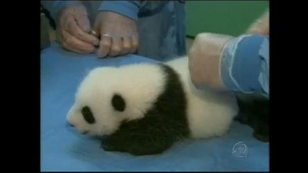 Bebê panda gigante movimenta Zoo nos EUA - Notícias - R7 ...