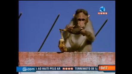 Gangue de macacos urbanos rouba pessoas na Índia - Record ...