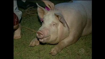 Gaúcho cria porca como bicho de estimação e causa espanto nos ...