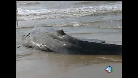 Filhote de baleia jubarte é sacrificado no RS - Notícias - R7 Jornal ...