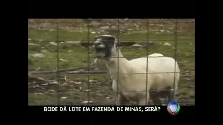"""Cabra macho"": bode que dá leite intriga moradores da Grande BH ..."