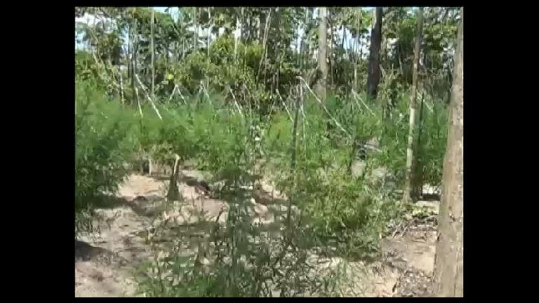 Mais de 255 mil pés de maconha são destruídos pela polícia do Pará