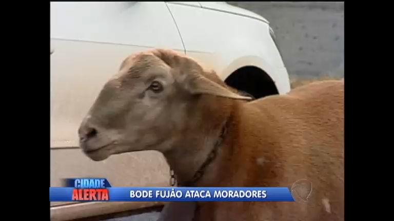 """""""Bodeado"""", bode fujão ataca moradores no interior do Paraná ..."""