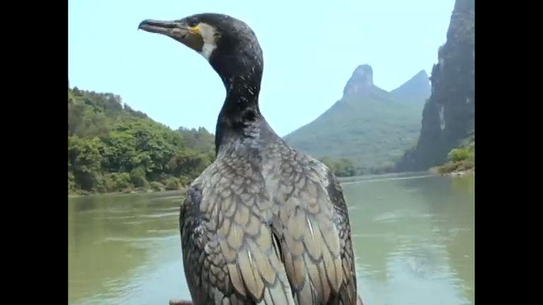 Chinês usa aves de estimação para pescar - Notícias - R7 Domingo ...