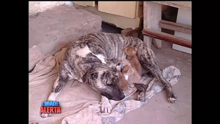 Lição da natureza: pitbull amamenta filhotes de gato - Notícias - R7 ...
