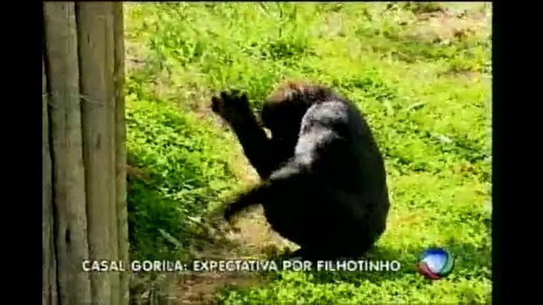 Novo casal de gorilas do zoológico de BH já pode ser visto - Minas ...