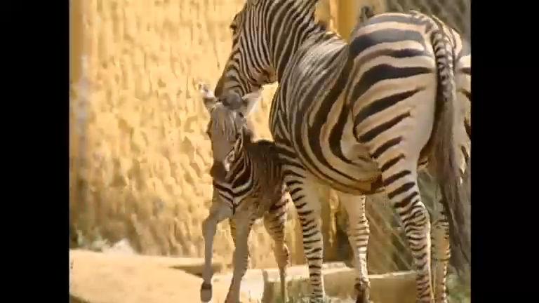 """Zebra """"Popozuda"""" dá à luz e zoológico de Salvador ganha novo ..."""