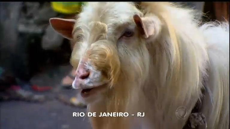 """Bode """"celebridade"""" do morro da Rocinha é encontrado morto no RJ ..."""