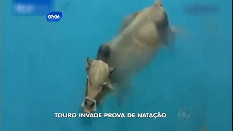 Intruso: touro invade prova de natação para se refrescar - Notícias ...