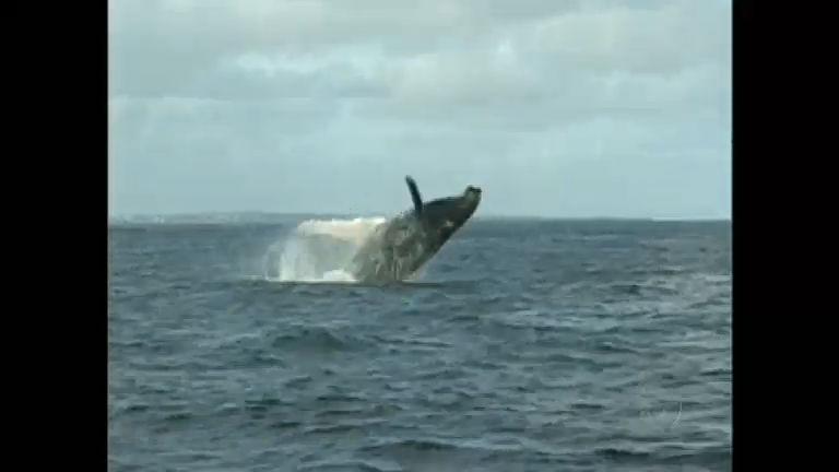 Reprodução das baleais jubarte vira 'ponto turístico' no litoral da Bahia