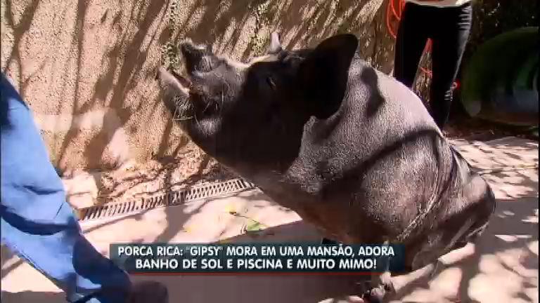 Ração garantida: conheça o porca que vive em mansão e é ...