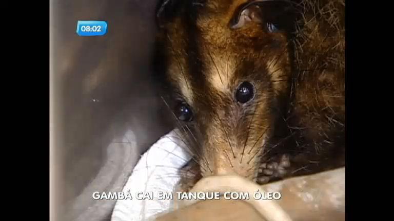 Gambá é resgatada de tanque com óleo, mas perde filhotes ...
