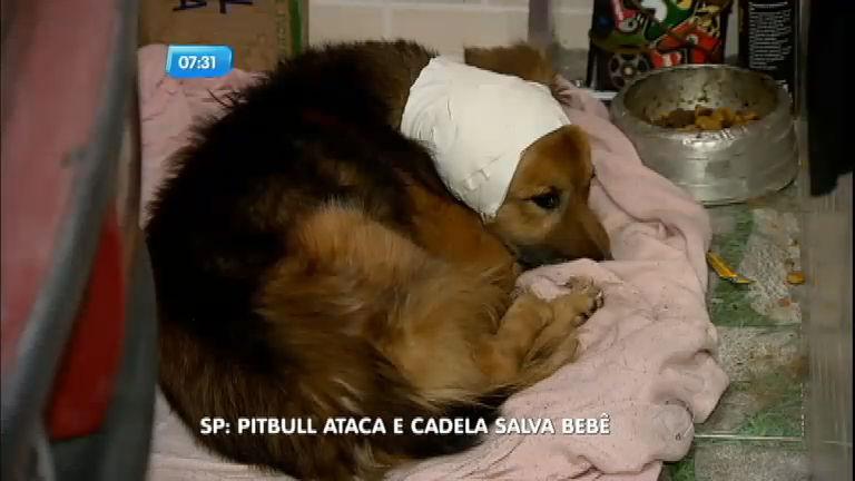 Cachorra vira-lata salva bebê de ataque de pitbull - Notícias - R7 SP ...
