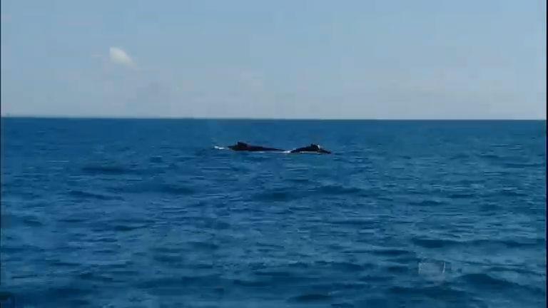 Baleias Jubarte se despedem da temporada dando espetáculo no ...