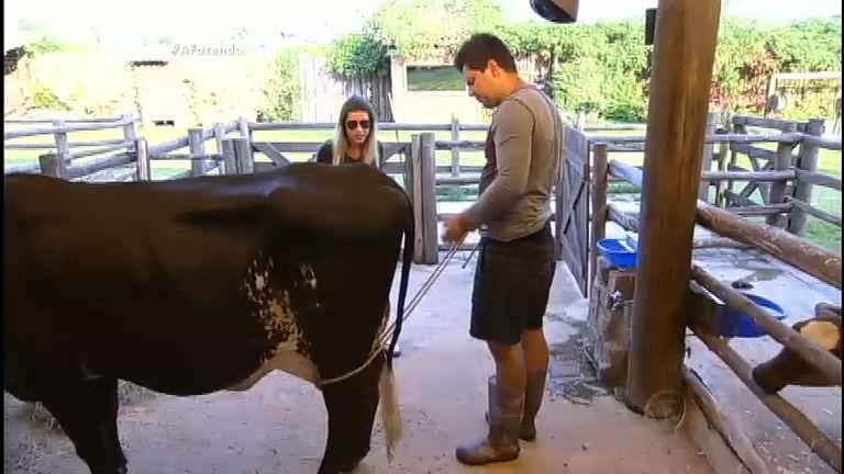 Sem paciência, Thiago sofre para cumprir tarefa com as vacas da ...