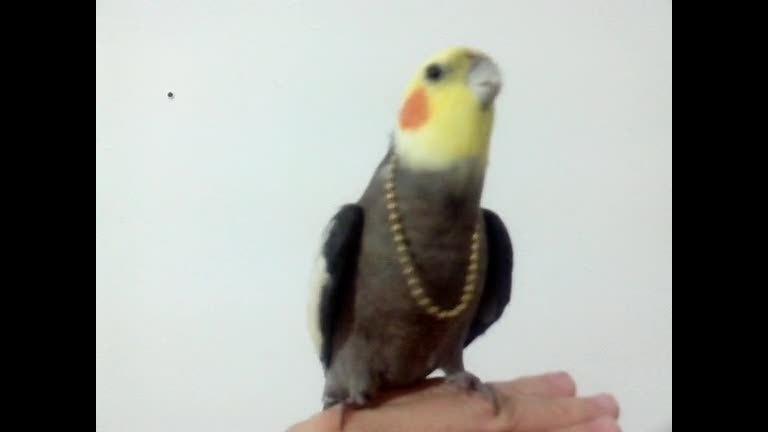 Calopsita vaidosa adora cantar com seu colar no pescoço - R7 TV ...