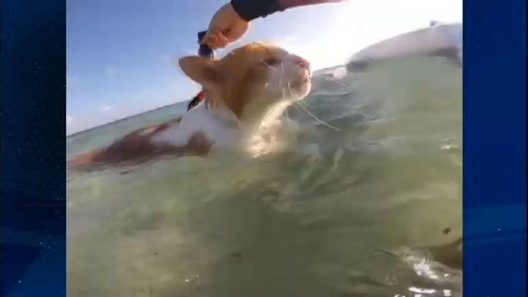 Bichos Curiosos: surfista gato faz sucesso pegando ondas no Havaí ...