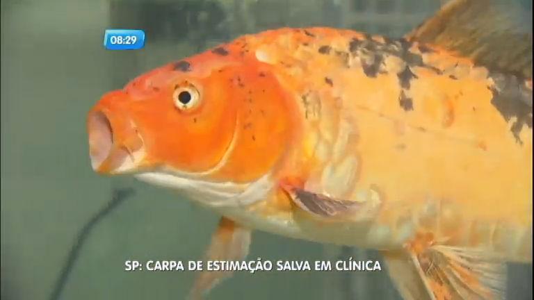 Carpa com infecção generalizada é salva por veterinários em São Paulo