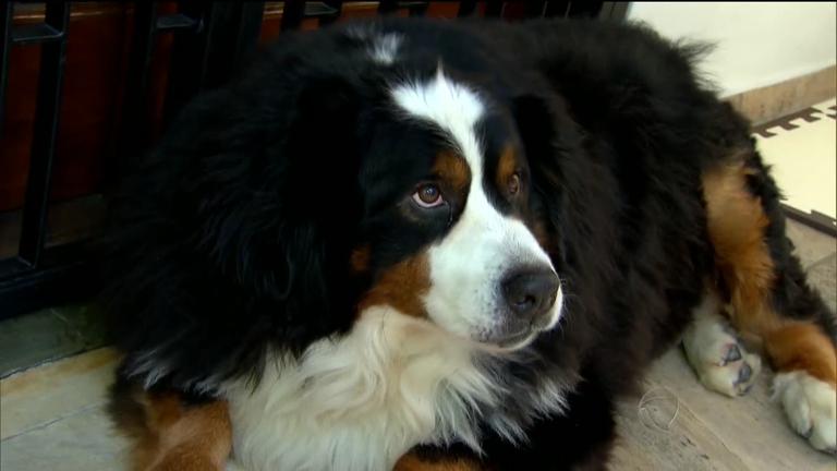 Cachorro que pesava 75 kg passa por transformação ...