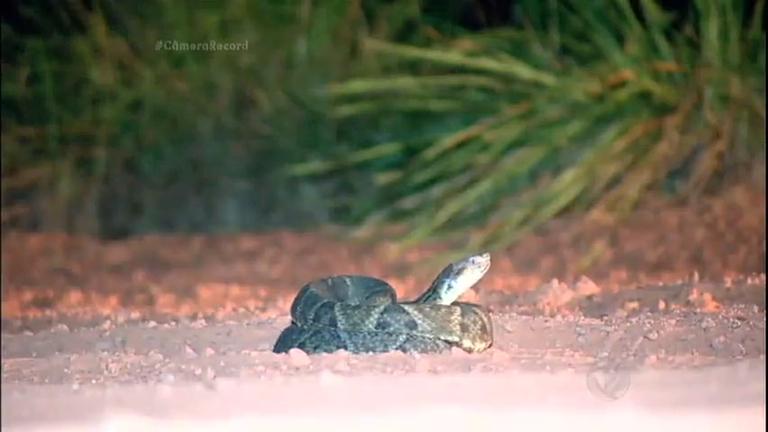 Câmera Record sai em busca da cobra mais perigosa do Jalapão ...