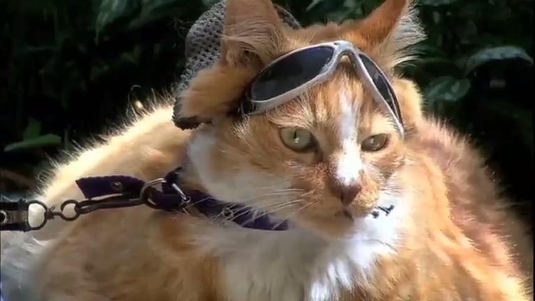 Gato praieiro ganha fama internacional após reportagem do Fala ...