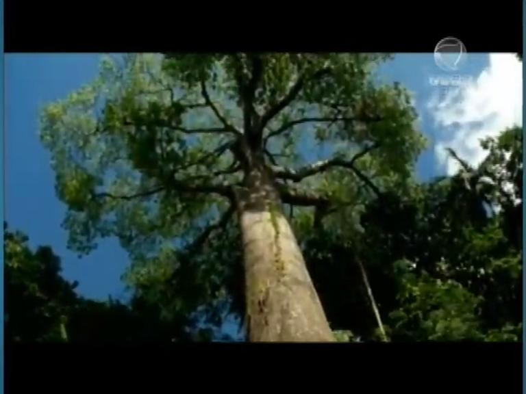 Árvores amazônica impressionam pela importância no ecossistema e para a vida humana