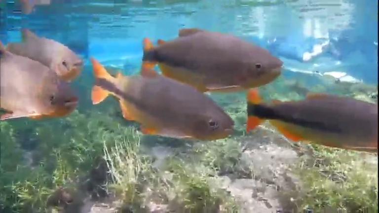 Comida dada por visitantes engorda peixe característico de Bonito ...