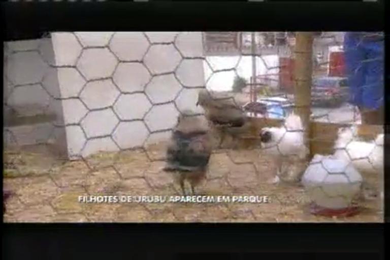 Filhotes de urubu que vivem em galinheiro fazem sucesso de ...