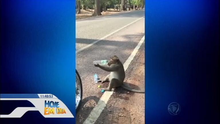 """Ressaca? Macaco """"rouba"""" garrafas d'água de turistas no Camboja ..."""
