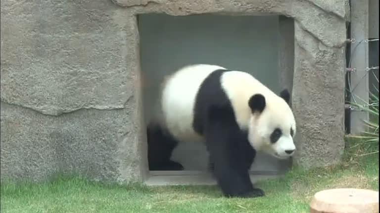 Flagrante na China confirma aumento de pandas soltos na natureza ...
