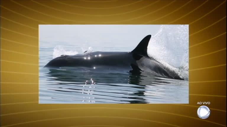 Orca mais velha do mundo morre aos 100 anos de idade