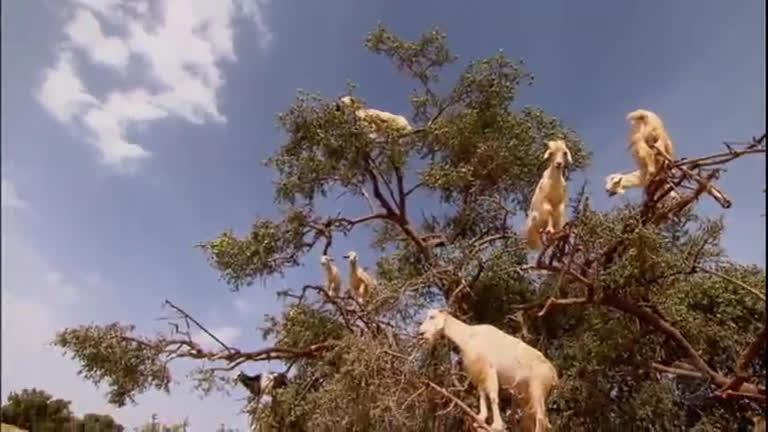 C U00e2mera Record Desvenda Mist U00e9rio Das Cabras Que Sobem Em