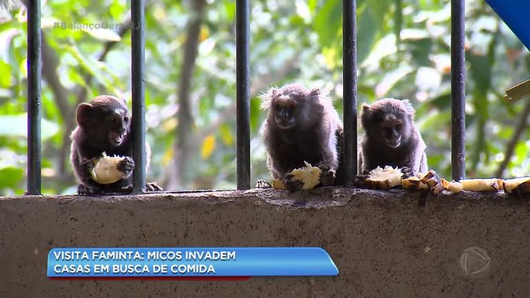 Micos Invadem Casas Na Zona Norte Do Rio Em Busca De Comida Rio De